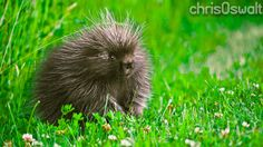 Bet you never knew porcupines were so gosh darn cute. Available cheap from Chris Oswalt Photography.