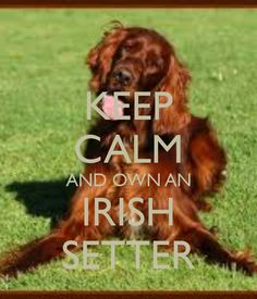 I love my Irish Setter <3
