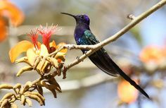 Swallow-tailed Hummingbird (Eupetomena macroura) on Erythrina velutina