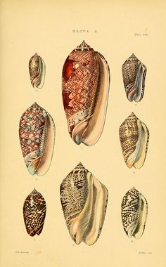 Illustration of shells from the Biodiversity Heritage Library
