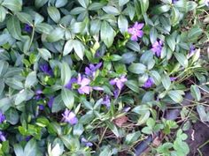 Periwinkle (vinca minor): This is a perennial that bears distinctive blue/purple/pink/white five-petaled flowers in spring and off and on the rest of the year and prized for its ground covering abilities. Grows best in  partial sun or partial shade and regular water.