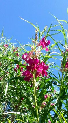 Chilopsis linearis • Desert Willow • hardy to -10 degrees, full sun to partial shade, burgundy pink blooms from spring to summer, drought tolerant