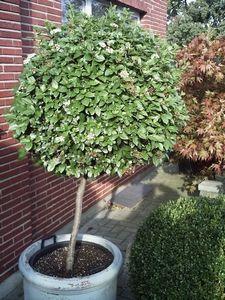 Viburnum op stam