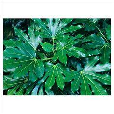 Fatsia Japonica (Vingerplant) subtropische groenblijvende plant, ook als kamerplant, is giftig