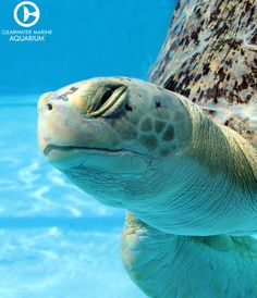 We care for five different species of sea turtles found in the Gulf of Mexico, two of which are endangered. Learn more about our resident sea turtles Land Turtles, Sea Turtles, Clearwater Marine Aquarium, Dolphin Tale, Oceans Of The World, Marine Biology, Orcas, Tortoises, Sea World