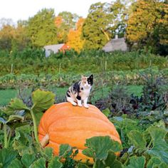 Giant pumpkin on an organic farm in Sweden