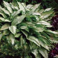 Partial shade (morning sun with afternoon shade is best - Pulmonaria 'Silver Shimmers' ('Silver Shimmers' lungwort)