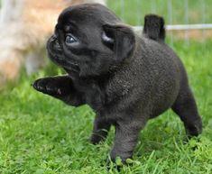 Cute Black Pug Puppy #Ilovepugs