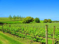 Vineyards of Kumeu, West #Auckland http://www.mydestination.com/auckland/6180177/kumeu