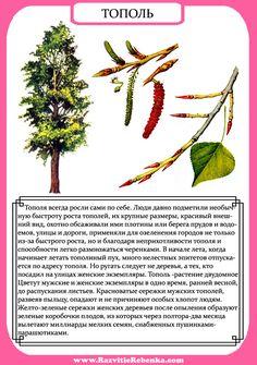 РАЗВИТИЕ РЕБЕНКА: Строение Дерева. Листья Деревьев.
