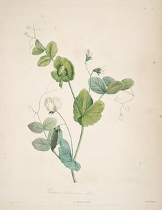 Redoute  La botanique de J.J. Rousseau : - Biodiversity Heritage Library