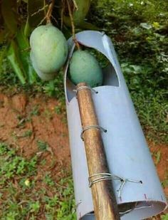 this is the simplest tool to pick mango, this very simple tool made from ordinary pipe which in bolongin tuk can… by Home Vegetable Garden, Fruit Garden, Farm Gardens, Outdoor Gardens, Garden Projects, Garden Tools, Garden Art, Vertikal Garden, Garden Basket