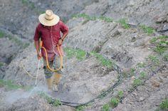 Fertilizantes en cultivo de tomate, Estado Lara, Venezuela