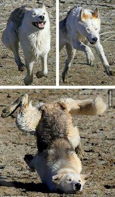 Goofy Wolf :)