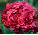 Adolphe Rousseau Peonies - A&D Nursery