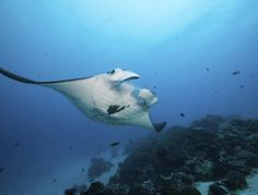 Historic Shark Decisions Survive Final Threat at CITES Plenary - #CITES4Sharks