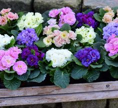 Primula is such a nice plant. These double forms are for indoor use #clausdalby #flowers #blomster #garden #have
