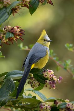"""Tea in the Afternoon, j-k-i-ng: """"Long-tailed Silky-flycatcher"""" by Pretty Birds, Love Birds, Beautiful Birds, Tropical Birds, Colorful Birds, Animals And Pets, Cute Animals, Small Birds, World Of Color"""