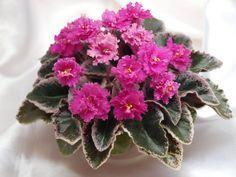 Pink Pizazz (H. Pittman) Semidouble vivid pink frilled. Variegated green, white and pink, glossy, wavy. Semiminiature (DAVS 1392, TX Hyb)