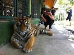 Le tigre! un animal qui me fascine, c'est  l'une de mes meilleurs rencontre.