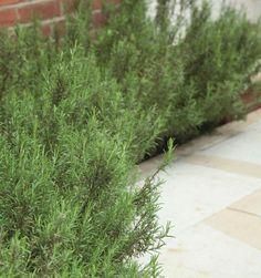 Rosemary edges a path ; Gardenista