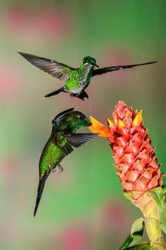 Costa Rican Hummingbirds by Myer Bornstein on Fivehundredpx