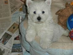 three (2 left) Reg with papers West Highland White Terrier Puppies for sale. They are all healthy and happy. They are well socialized with people, children and other pets. Text Directly to (281) 219 X 9093 for further information.
