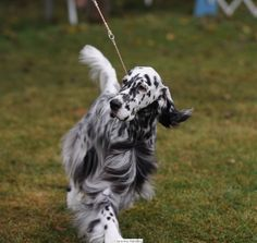 """Click visit site and Check out Cool """"English Setter"""" T-shirts. This website is excellent. Tip: You can search """"your name"""" or """"your favorite shirts"""" at search bar on the top."""