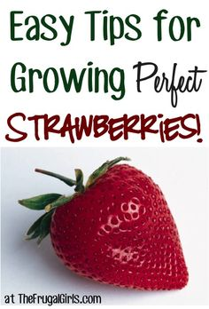 15 Easy Tips for Growing Perfect Strawberries! ~ from 15 Easy Tips for Growing Perfect Strawberries!