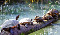 We love Magyarország:  Napfürdőző teknősök Tisza-tó   Mocsári teknős   H...