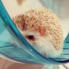 #hedgehog