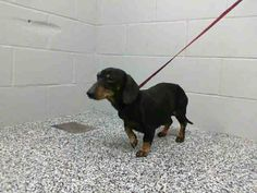 EXTREMELY URGENT at San Bernardino Shelter This DOG - ID #A458905 Available 1/3  I am a male, black and tan Dachshund min. Shelter staff think I am about 7 years old. I have been at the shelter since Dec 23, 2013.   If I am not claimed, after my stray holding period, I may be available for adoption on Jan 03, 2014. https://www.facebook.com/photo.php?fbid=10201733302231877&set=a.10201187177339096.1073741865.1160364024&type=3&theater