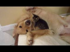 Brave Kitten Crawls On Top of Dog's Neck & Chest - 5 Weeks Old - Golden Retriever - YouTube