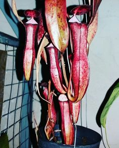Nepenthes Neglekta red leaf