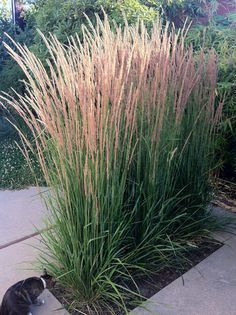 Karl forester reed grass long lasting blooms great corner accent plant for a different textur.-- Karl forester reed grass long lasting blooms great corner accent plant for a different texture, Ornamental Grasses For Shade, Ornamental Grass Landscape, Landscape Grasses, Tall Grasses, Landscaping Plants, Front Yard Landscaping, Landscaping Ideas, Back Gardens, Outdoor Gardens