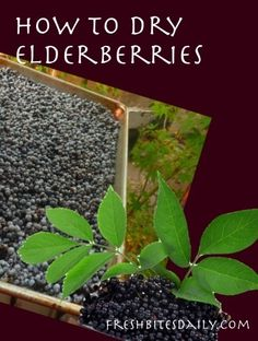 Drying/Dehydrating Your Elderberry Bounty! | Fresh Bites Daily