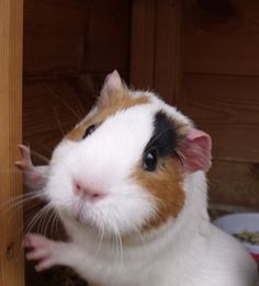 Awwwww, looks exactly like my piggy except different ear color, one is brown, and it has more orange stripes!