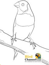 Finch Coloring Page (and many more bird coloring pages for the bird lover who loves to color)