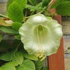 Klokkeranke Alba <br><i>Cobaea scandens</i> White Gardens, Garden Plants, White Flowers, Facade, Vietnam, Planters, Outdoor, Patio, Outdoors