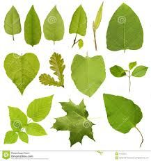 Find Collection Green Tree Leaves High Resolution stock images in HD and millions of other royalty-free stock photos, illustrations and vectors in the Shutterstock collection. Thousands of new, high-quality pictures added every day. Big Leaves, Tree Leaves, Tree Branches, Plant Leaves, Green Trees, Photo Editing, Royalty Free Stock Photos, Objects, Drawings