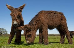 Lovable: Poitou foals Charlie and Cadeau at the farm in Hampshire, where the farmer made a home for rescued donkeys that had been bound for ...