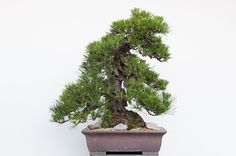 While decandling is a great technique for refining red and black pine bonsai, knowing when to decandle is just as important as knowing when not to decandle. When is decandling not appropriate for r...