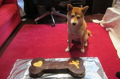 why show a shiba-inu a cake if i can't eat it?