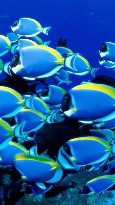 Blue Powder Tangs, So beautiful