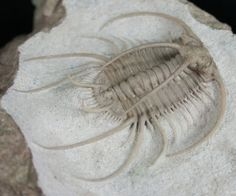 Boedaspis ensifer. Lower Ordovician (Lower Darrivilian Stage) Putilovo Quarry, St. Petersburg Region, Russia