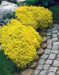 18-plantas-cubresuelos-con-flor-10