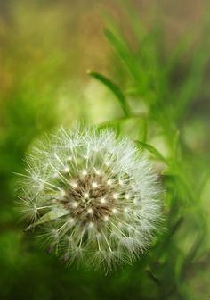 Dandelion Wishes in green and white bokeh