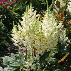 Younique White Astilbe (Astilbe Younique White) at Wayside Gardens