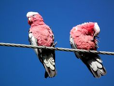 Galahs on a wire by Craig Stronner My Photos, Stock Photos, Australian Birds, Clear Blue Sky, Print Advertising, Us Images, Hanging Out, Wire, Parrots