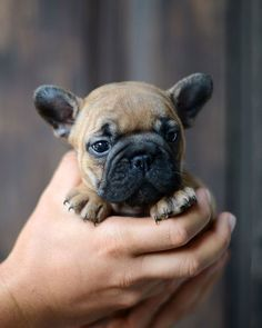 frenchie puppy. be still my heart.
